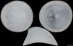 Phenacolepas crenulatus (Philippines, 15,8mm)