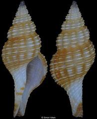 Granulifusus staminatus (Philippines, 16,3mm) F+++ €12.50