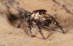 Jumping spider (Salticidae sp.), Kampong Trach, Cambodia