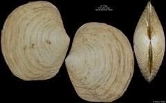 Lucinoma aequizonatum (Santa Barbara Basin, 43,2mm)