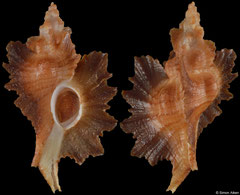 Pteropurpura macroptera (California, USA, 45,4mm)