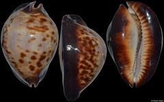 Cypraea friendii form 'thersites' (South Australia, 85,6mm)