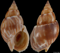 Nassarius fenwicki (South Africa, 26,7mm) F++ €7.00 (specimens for sale are 26mm+ and are of the same quality as the specimen illustrated)