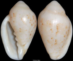 Marginella lutea (sinistral freak) (South Africa, 19mm)