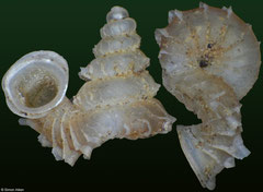 Opisthostoma everetti (Malaysia, 2,7mm) F+++ €38.00 (specimens for sale are 2,6-2,7mm and are of the same quality as the specimen illustrated)