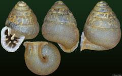 Fauxulus josephinae (Madagascar, 6,4mm)