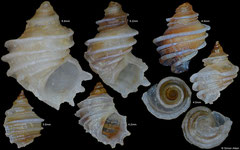 Fossarus trochlearis (Philippines) (various prices)