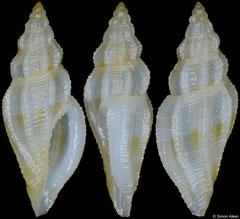 Eucithara cf. capillata (Philippines, 7,8mm)