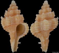 Calotrophon hemmenorum (Somalia, 16,6mm)