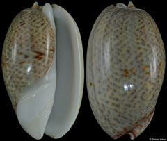 Oliva bulbosa form 'inflata' (Madagascar, 37,9mm) F+++ €1.40