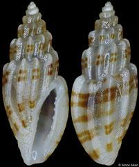 Eucithara harpellina (Philippines, 6,2mm)