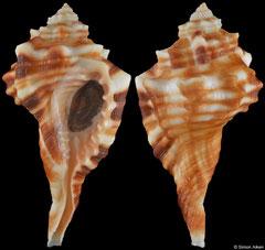 Cymatium trilineatum (Red Sea Egypt, 56,3mm)