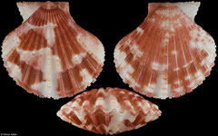 Cryptopecten vesiculosus (Japan, 31,2mm)