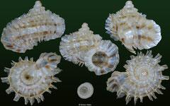 Meganipha rhecta (Dominican Republic, 9,7mm)