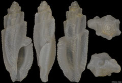Pseudorhaphitoma calcata (Philippines, 3,6mm)