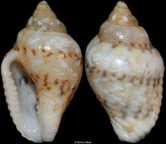 Columbella scripta (sinistral freak) (Philippines, 10,8mm)