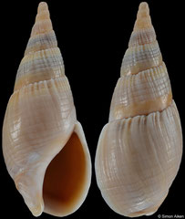 Bullia mozambicensis (South Africa, 34,8mm)