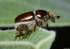 Chafer beetle (Scarabaeidae sp.), Broome, Western Australia