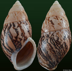 Amphidromus asper (Vietnam, 55,6mm) F+ €11.00 (specimens for sale are 55-58mm and are of the same quality as the specimen illustrated)