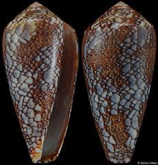 Conus pennaceus (Mozambique, 54,0mm)