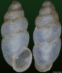Carychium thailandicum (Laos, 1,6mm)