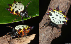 Spiny orb-weaver (Gasteracantha cancriformis), Balut Island, Philippines