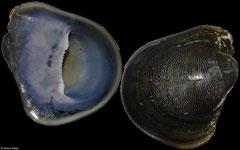 Neripteron mauriciae (Réunion, 20,3mm)