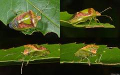 Shield bug (cf. Piezodorus lituratus), Fianarantsoa, Madagascar