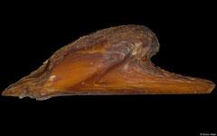 Pteria crocea (Philippines, 70,7mm)