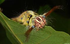 Eggar (Trabala pallida) larva, Kampong Trach, Cambodia