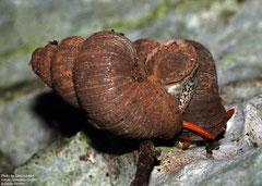 Rhytidothyra bilabiata rosacea (Valle de la Jutía, Viñales, Pinar del Río, Cuba)