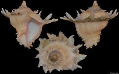 Babelomurex latipinnatus (form) (Philippines, 29,3mm) F++ €23.00