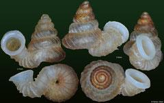 Opisthostoma cyrtopleuron (Malaysia, 2,7mm, 3,0mm) (paratypes)