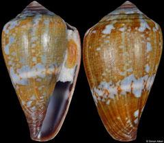 Conus crioulus (Cape Verde, 24,3mm)