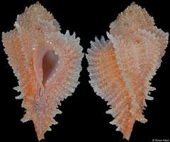 Pterynotus bibbeyi (Philippines, 26,9mm)