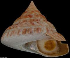 Mikadotrochus hirasei (Japan, 89,9mm)