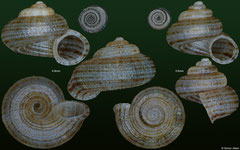 Arenabbottella sosuaensis (Dominican Republic, 6,8mm, 5,6mm) F+++ broken-band form (specimens for sale are 5-7mm and are of the same quality as these specimens illustrated)