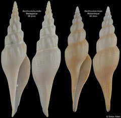 Benthovoluta prellei (Madagascar), Benthovoluta krigei (Mozambique)