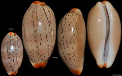 Cypraea isabellamexicana (Pacific Panama, 26,7mm, 40,7mm)
