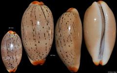 Cypraea isabellamexicana (Pacific Panama, 26,7mm, 40,7mm)