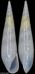 Hypermastus boschorum (Oman, 6,3mm) F+++ €25.00