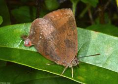Gossamer-winged butterfly (Amblypodia narada), Kampot, Cambodia
