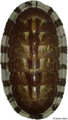 Chiton marmoratus (Caribbean Colombia, 53,7mm)