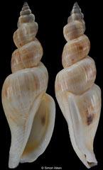 Canarium esculentum (Philippines, 65,0mm)