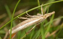 Snout moth (Pyralidae sp.), York, England