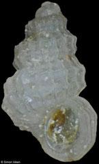 Parashiela invisibilis (Philippines, 1,5mm)