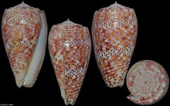 Conus adamsonii (Cook Islands, 41,3mm)