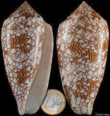 Conus textile (Philippines, 104,5mm)