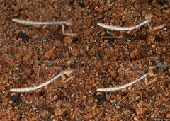 Ground mantis (Apterocorypha sp. nov.) nymph, Ifaty-Mangily, Madagascar