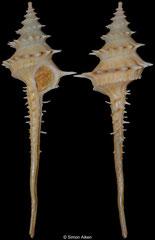 Columbarium spinicinctum (Queensland, Australia, 76,4mm)